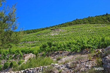 Vineyards, Orebic, Croatia
