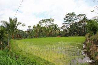 Reisfelder (10)t