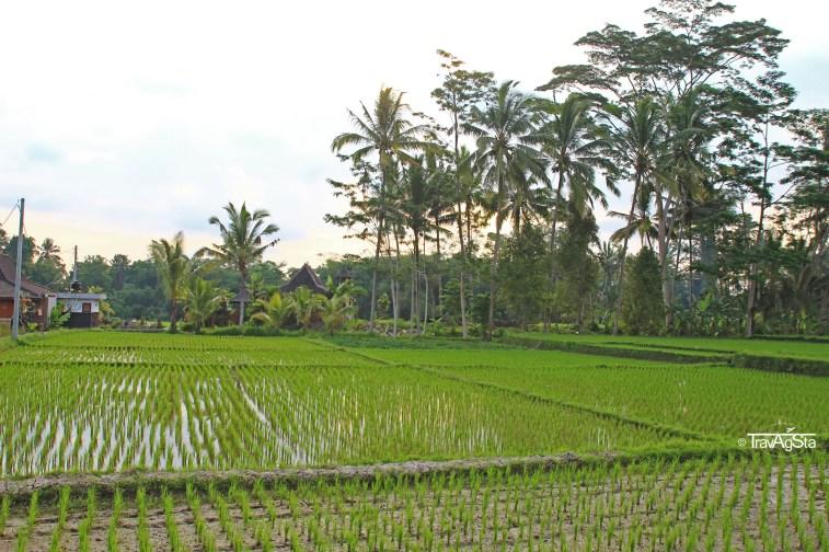 Reisfelder (5)t
