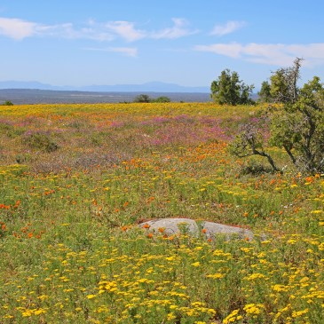 West Coast National Park and Paternoster – A day trip to the Wild Flowers!