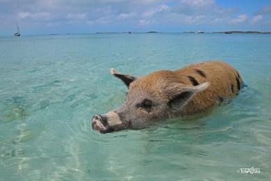 The Swimming Pigs, Big Major Cay, The Bahamas
