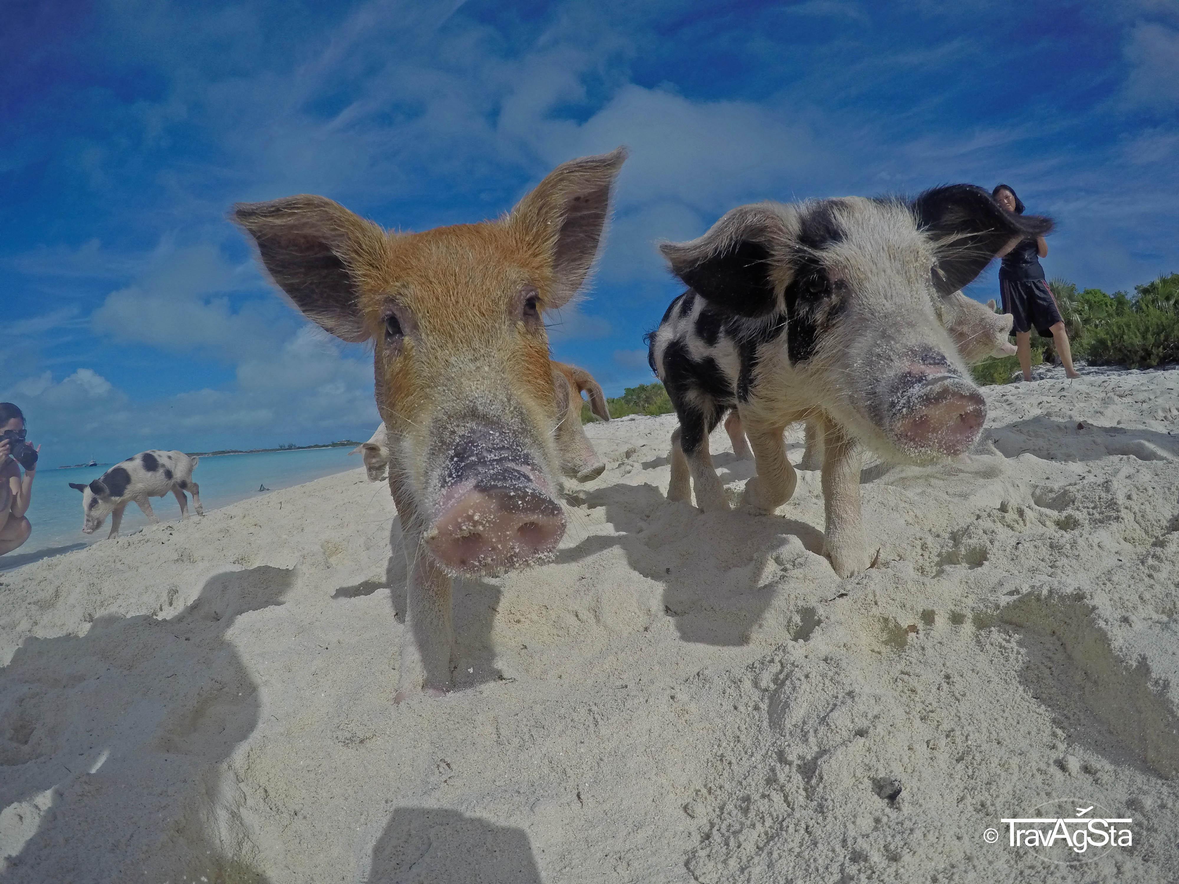 Swimming Pigs, Nurse Sharks, Iguanas – a day trip along the Exuma Cays!