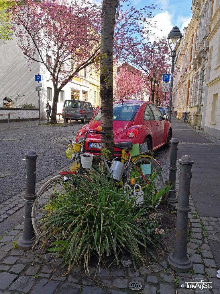 Kirschblüte/ Cherry Blossom, Heerstraße, Bonn, Germany