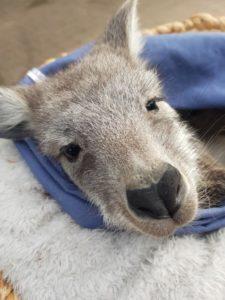bébé kangourou australie