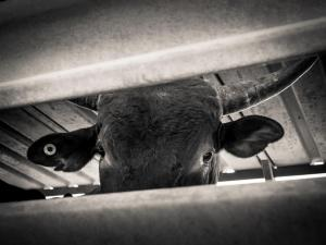 mustering bovin australie