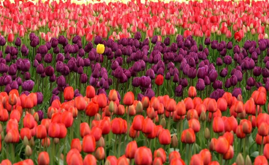 global festivals tulips