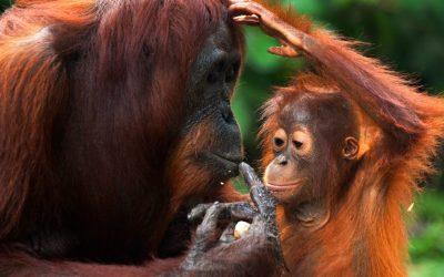 Tipy: Sumatra: setkání s orangutany v divočině