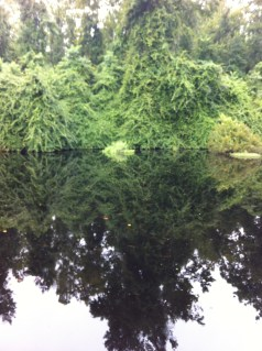 Pretty reflections in Dismal Swamp water