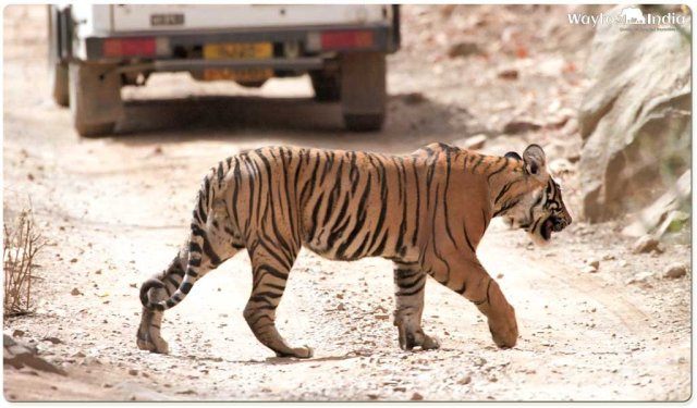 Best Places to Spot Tigers in India : Jim corbett national park