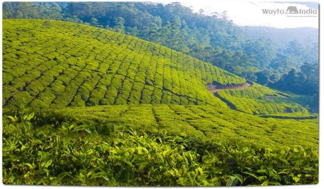 Tea Plantations in India : Aasam