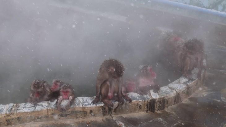 サルも露天風呂に入る