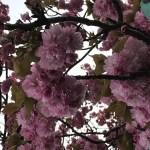東北ひとり旅  番外編【霞ヶ城公園 さくら祭りKasumigajyo park Cherry blossom】