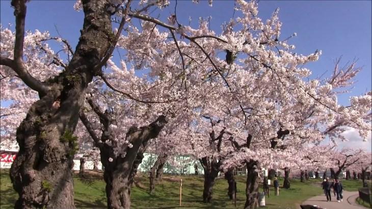 【旅エイター】桜前線『五稜郭公園・ビデオ映像①』 北海道函館市