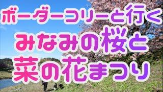 【犬と旅行 4Kドローン動画】みなみの桜と菜の花まつり ボーダーコリーが河津桜と菜の花畑を満喫!? / Cherry Blossoms and Field Mustard Festival