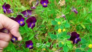 【花材】すみれを探しに行きましょう【北海道 ハンドメイド DIY】