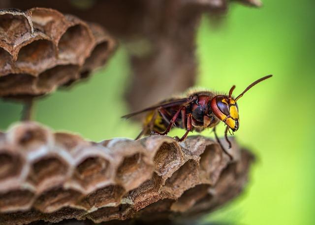 スズメバチ カチカチ 時期 雌雄 益虫 アシナガバチ