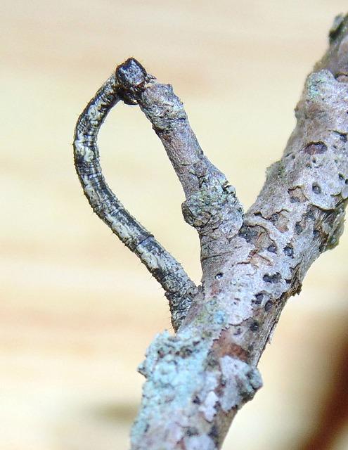 シャクトリムシ かわいい 駆除 困る 成虫 毒