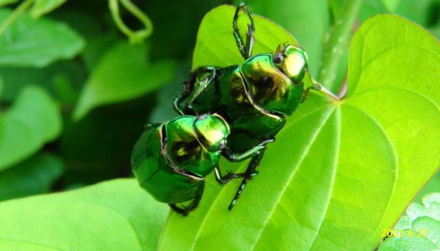 コガネムシ 卵 対策 大きさ 孵化時期 駆除 数