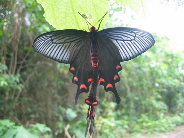 ジャコウアゲハ 幼虫 蛹 期間 越冬 毒 羽化