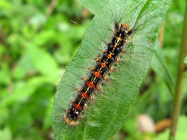 マイマイガ 幼虫 毒 症状 対策 駆除