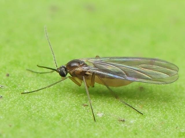 クロバネキノコバエ 対策 蚊取り線香 駆除