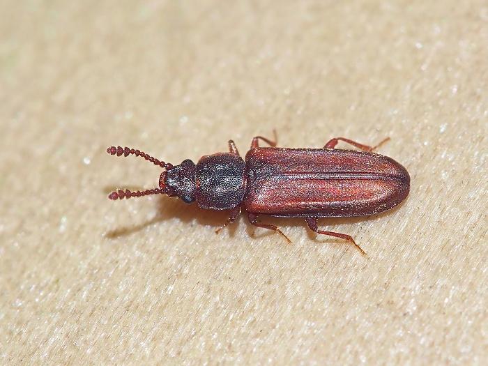 ヒラタムシ 生態 駆除 種類 幼虫