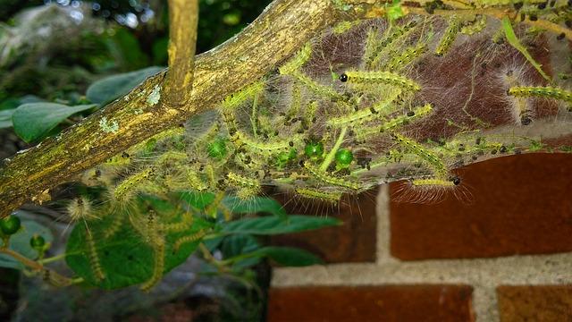 アメリカシロヒトリ 幼虫 成虫 駆除