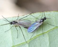 クロバネキノコバエ 幼虫 駆除