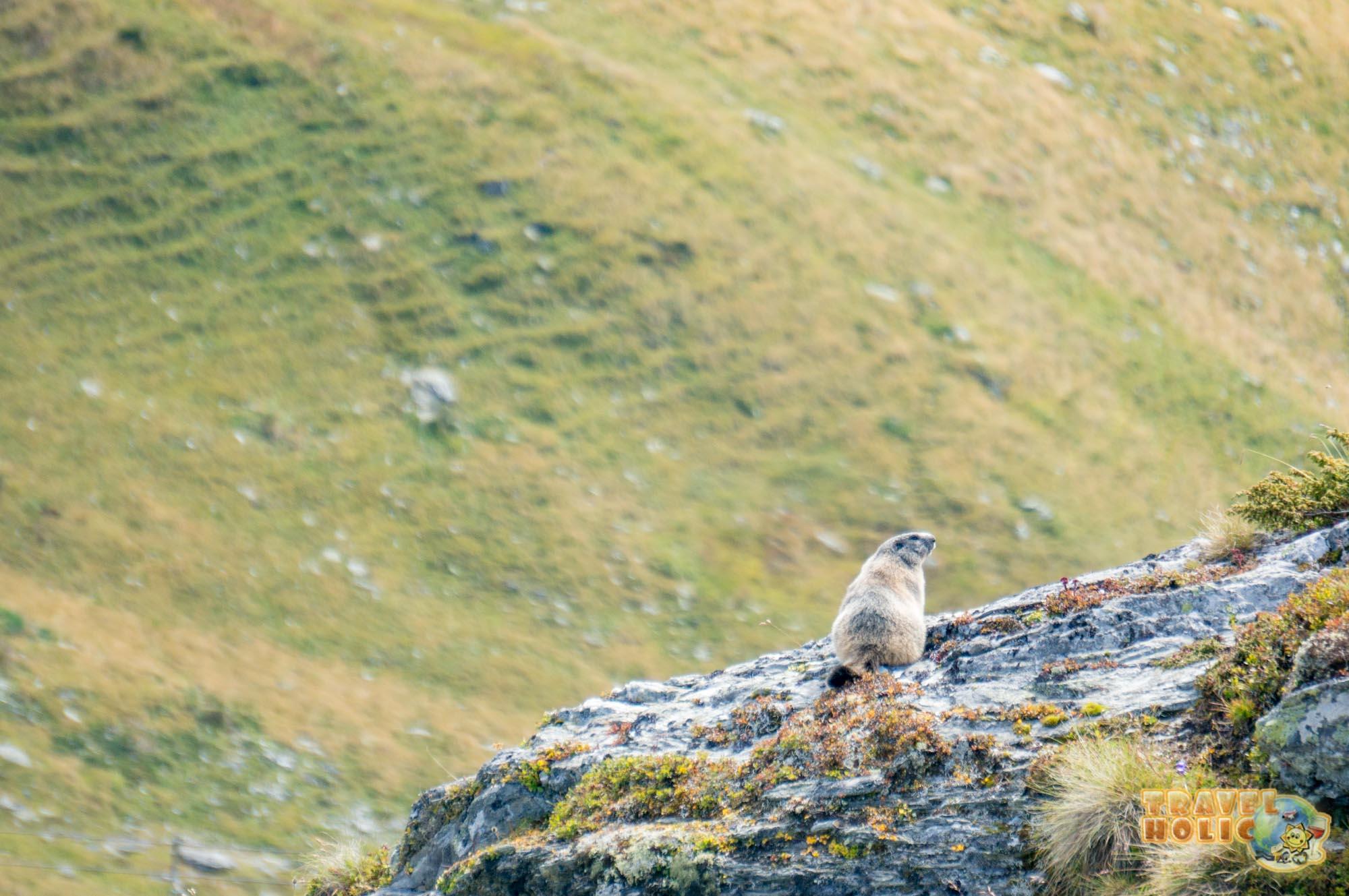Une marmotte à Verbier, Suisse