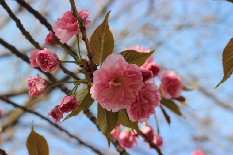 beijing yuyuantan park cherry blossoms (1 of 1)