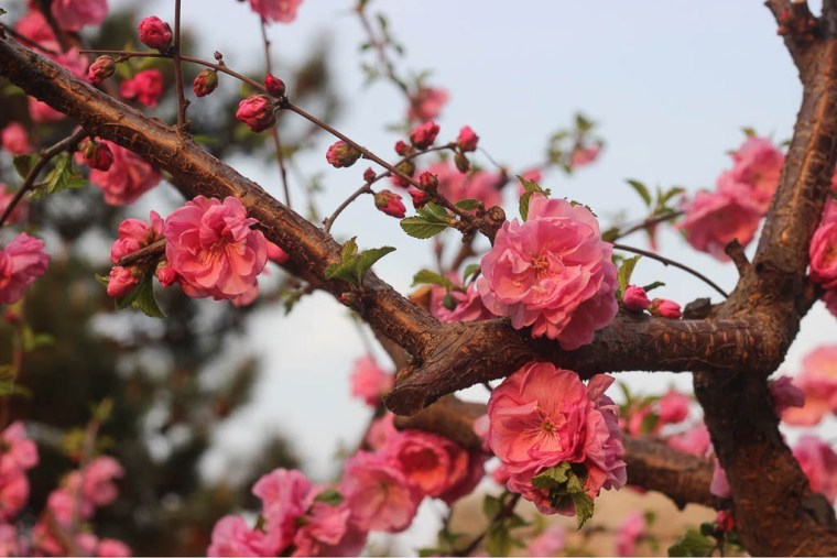 spring flowers in beijing