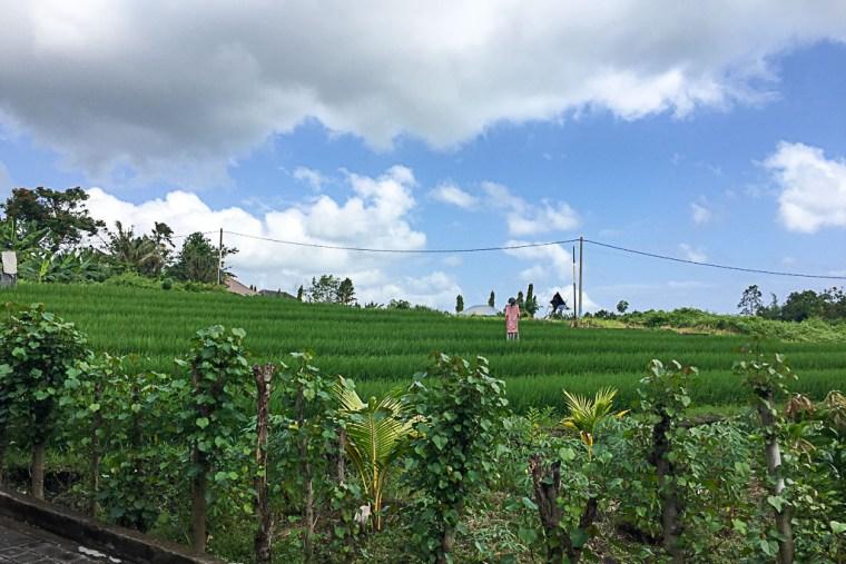 rice-terraces-canggu