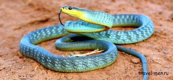 Самые опасные змеи Австралии: фото и описание