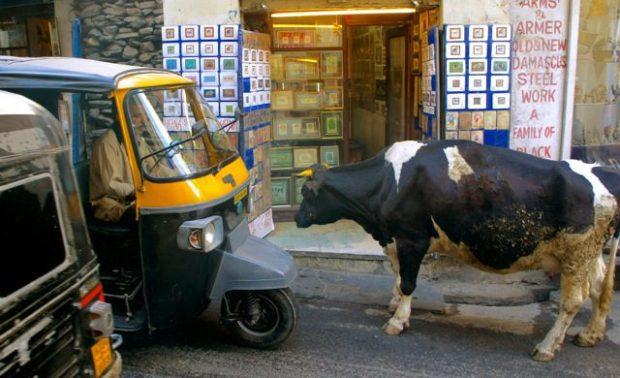 Cow - tuk-tuk standoff in Udaipur
