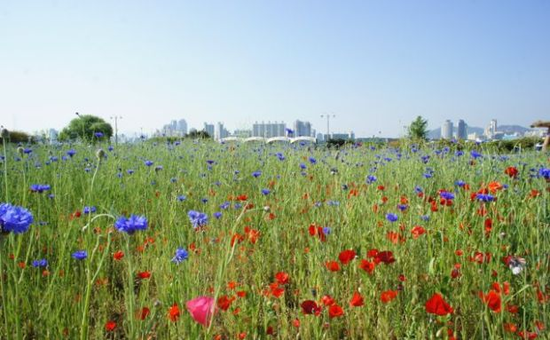 A sea of flowers by the Han River in Seoul