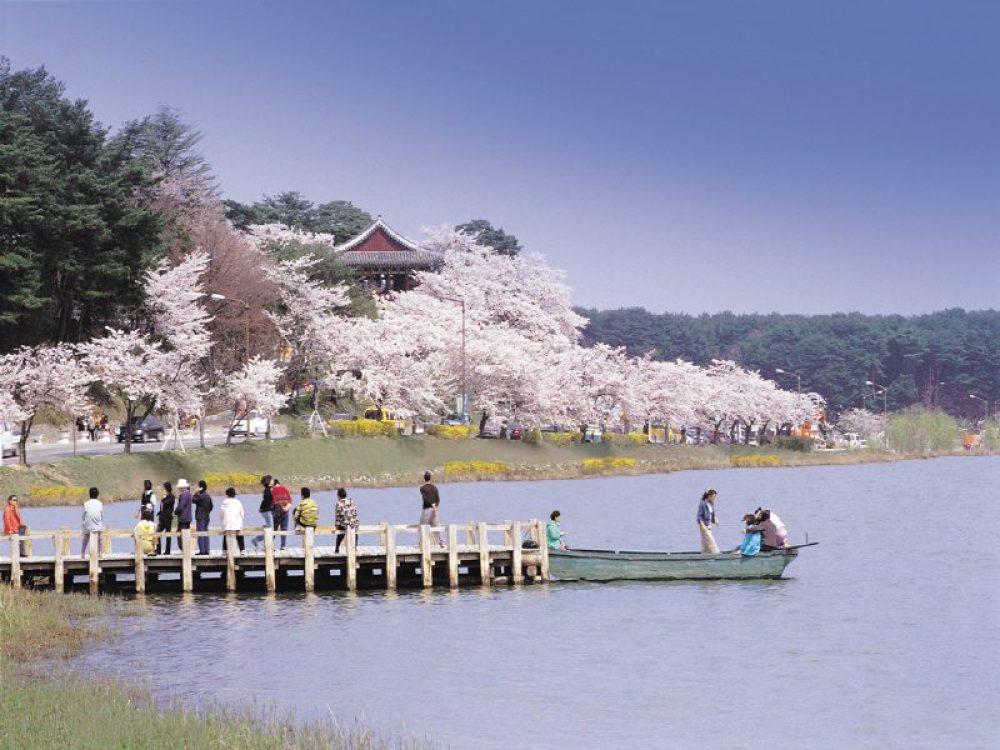 korea cherry blossoms, spring in korea,sakura korea, south korea cherry blossom, cherry blossom festivals korea, gyeongpo, gyeongpo cherry blossom festival