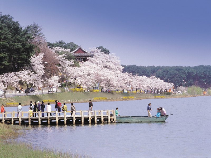 Korea's cherry blossoms next to Gyeongpo Lake, spring in korea, gyeongpo cherry blossom festival