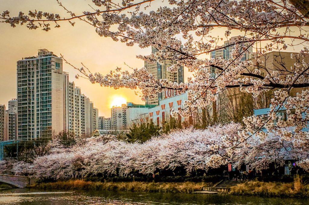 seokchon lake cherry blossom festival korea