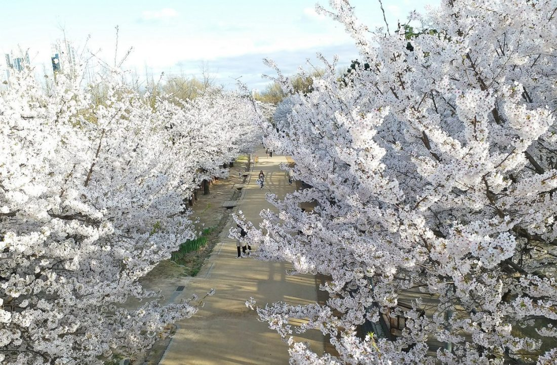 cherry blossoms in korea at seoul forest