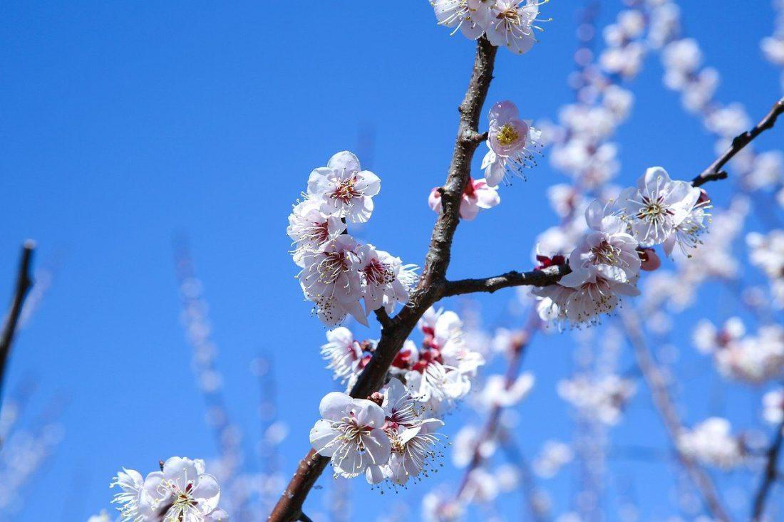 cherry blossoms in korea - jeju