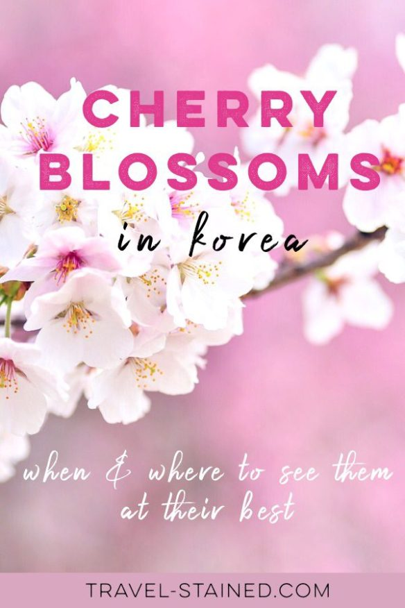 The blooming of Korea's cherry blossoms is the country's most eagerly anticipated spring event! Find out when, where and how to see them at their absolute best. #koreacherryblossoms #cherryblossomfestivals #cherryblossoms #koreatripblog #koreatravelblog #springinkorea #jinhaecherryblossoms #jinhae #jinhaecherryblossomfestival