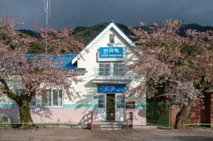 Korea cherry blossom trees outside a train station
