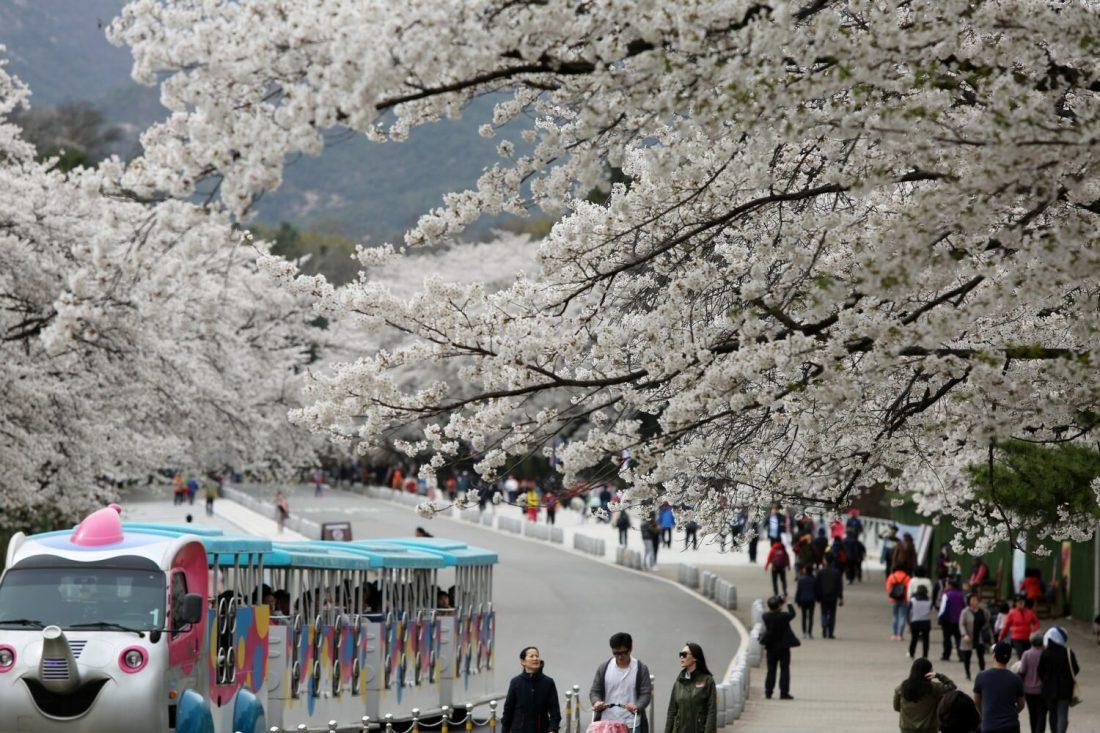 cherry blossoms in korea at namsan