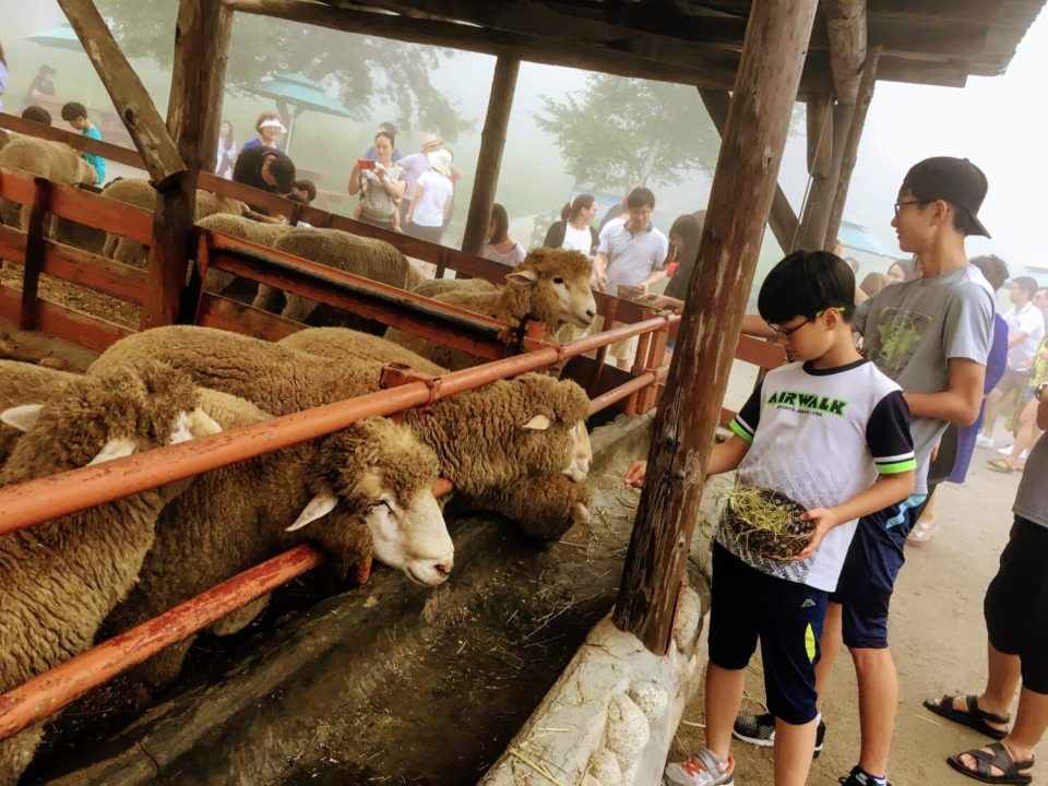 feeding sheep at daegwallyeong sheep farm