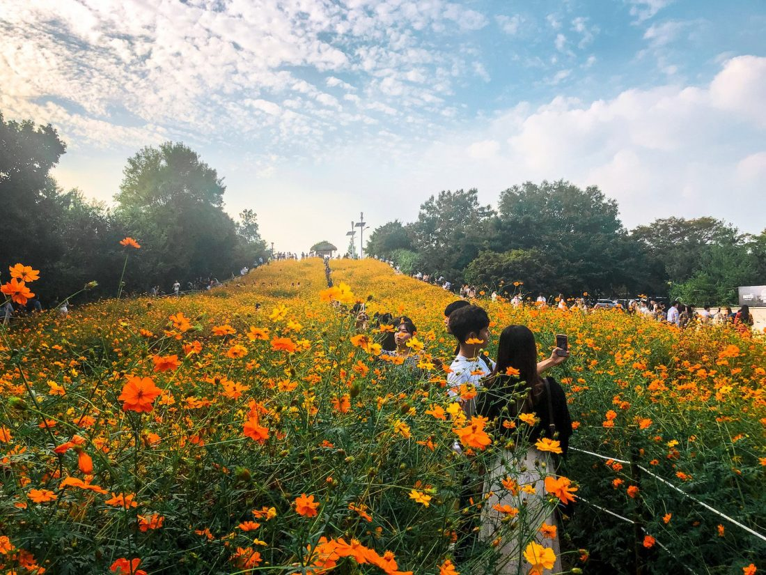 cosmos flowers at olympic park in seoul