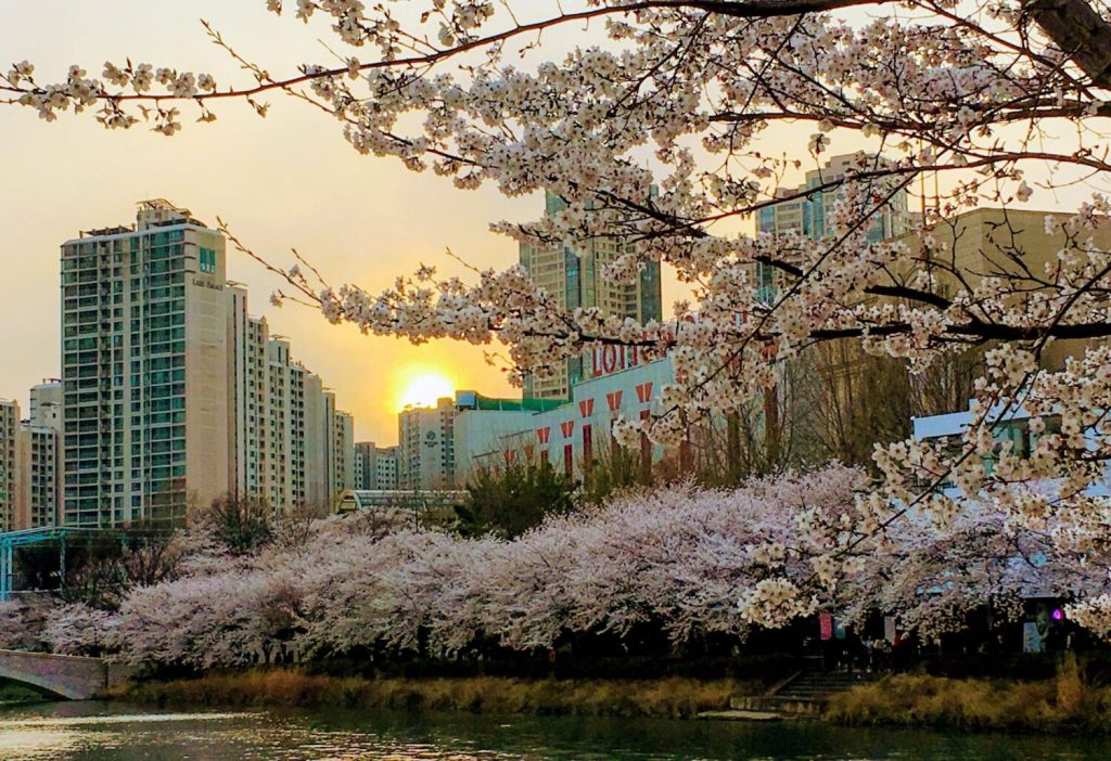 seokchon lake cherry blossom festival