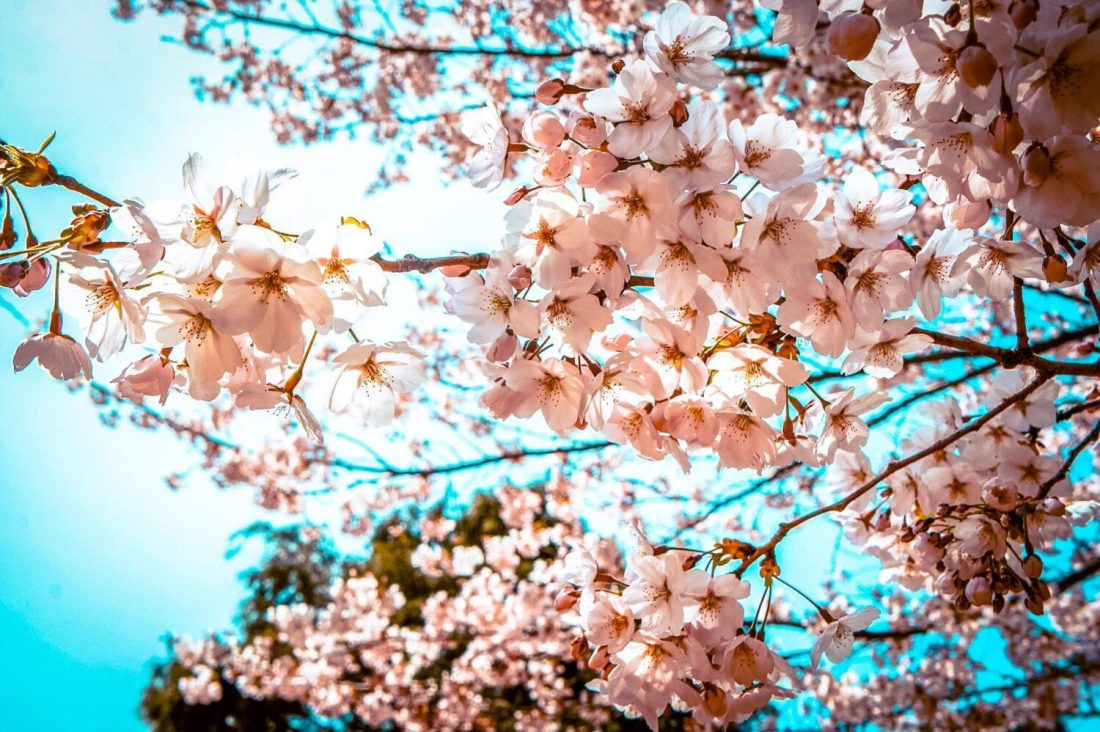 cherry blossoms in korea in spring