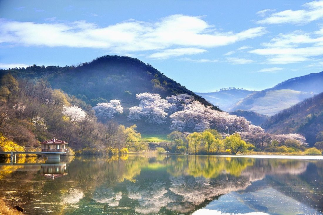 cherry trees on a lake during spring in korea