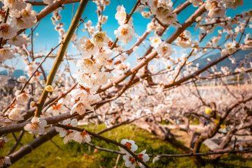 plum blosssoms in korea in spring