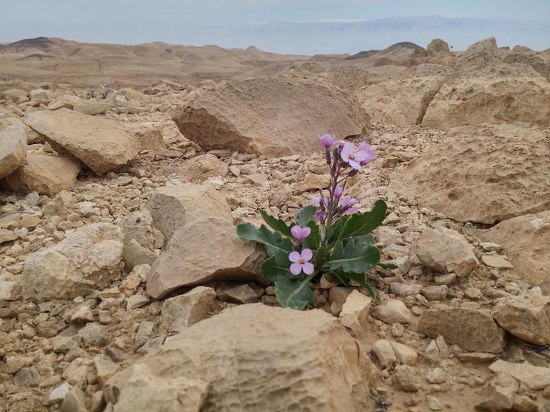 Путешествие по пустыням Израиля: цветение южной пустыни Негев